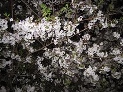 高知城の桜です。