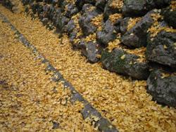 石段にイチョウの落ち葉