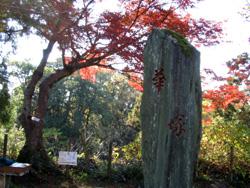 イロハカエデの標本木
