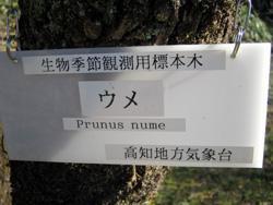 ウメ標本木